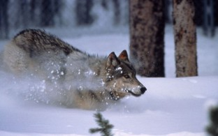 Wolf im Yellowstone-Nationalpark